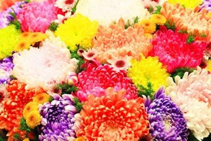ดอกเบญจมาศ หลากสี
