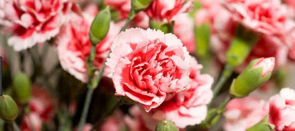 ดอกคารร์เนชั่น
