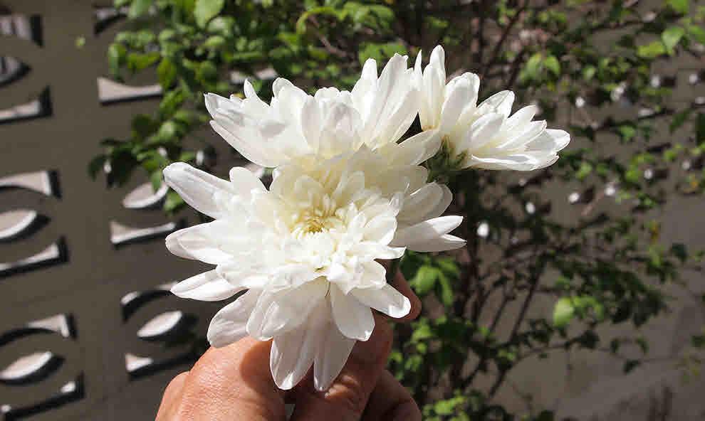 ดอกมัม สีขาว