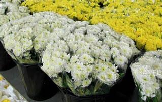 ดอกมัมสีขาวและสีเหลือง